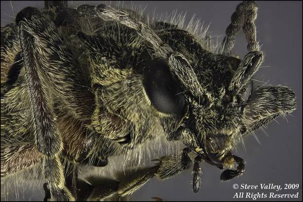 Head of a beetle, Rhagium inquisitor, 75 frames.