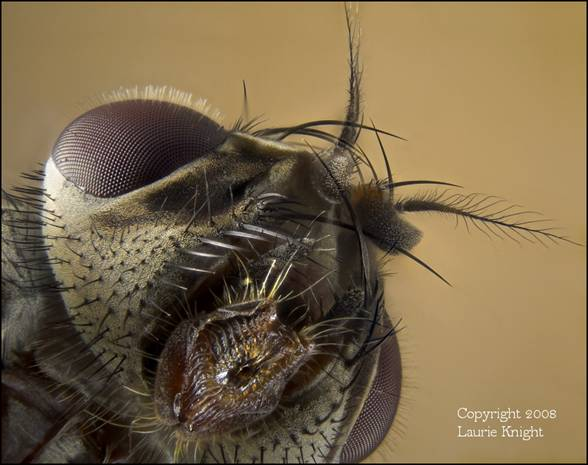 Head of a blowfly, 82 frames.